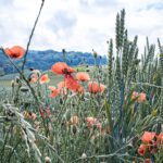 Feld mit Mohn. Bild: Corina Rainer – Unsplash